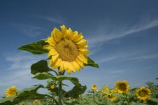 Sunflowers Field Royalty Free Stock Photo