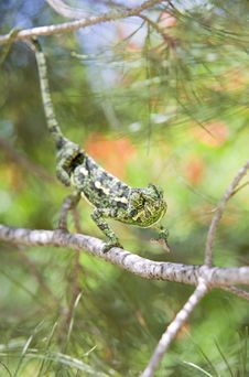 Free Chameleon Stock Photo - 5250430