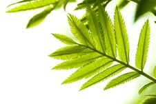 Fresh Mountain Ash Leaves In Forest Stock Photos