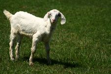 Free Nubian Kid Goat On Pasture Royalty Free Stock Photography - 5250977