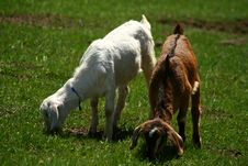 Nubian Kid Goats On Pasture Royalty Free Stock Photography