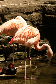 Free Standing Flamingo Royalty Free Stock Photography - 5251167
