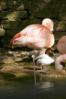 Free Single Flamingo Stock Images - 5251174