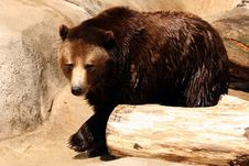 Free Grizzly Bear Royalty Free Stock Images - 5251199