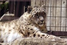 Free Snow Leopard Stock Image - 5251201