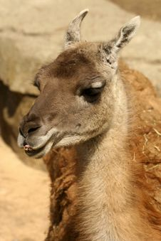 Free Smiling Llama Royalty Free Stock Photo - 5251205