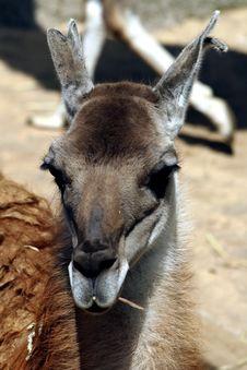 Free Llama Royalty Free Stock Image - 5251206