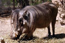 Wart Hog Royalty Free Stock Photos