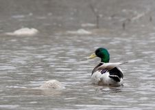 Free A Mallard Floats In The Water. Royalty Free Stock Photo - 5252005