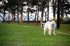 Free Samoyede Stock Photos - 5252223