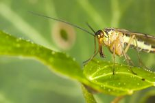 Free Scorpion Fly Stock Photo - 5252370