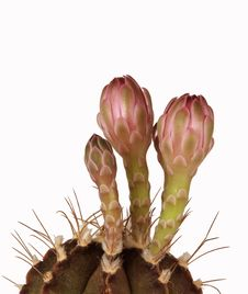 Free Flowers Of Cactus Stock Photography - 5252392