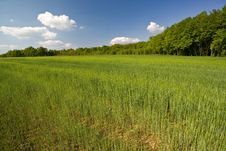 Free Young Green Grass Stock Photography - 5252482