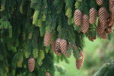 Free A Pine Tree Stock Photos - 5252583