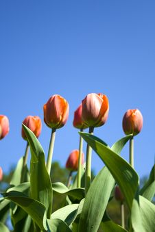 Free Orange Tulips Royalty Free Stock Photos - 5252738