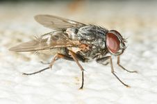 Free Close Up Of Housefly Stock Image - 5252841