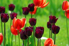 Free Tulip Field Stock Photos - 5253563