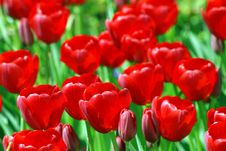 Field Of Red Tulips 2 Royalty Free Stock Photography
