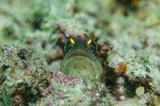 Free Goldspec Jawfish Stock Photography - 5253722