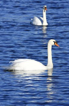 Free Two Swans Royalty Free Stock Photography - 5253867