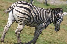 Free Zebra Stock Photos - 5253873