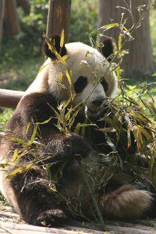 Free Pandas In Chengdu 3 Stock Image - 5254271