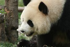 Free Giant Panda Stock Photography - 5254282