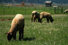Free Spring Lambs On Pasture 3 Stock Photo - 5254320