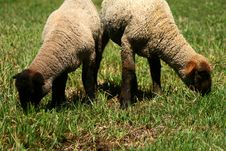 Free Spring Lambs On Pasture 4 Royalty Free Stock Photo - 5254475