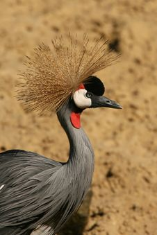 Free East African Crowned Crane Royalty Free Stock Images - 5254819