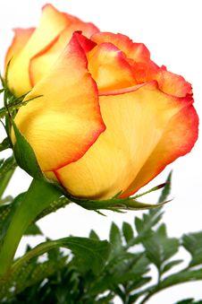 Free Single Rose Stock Images - 5255444