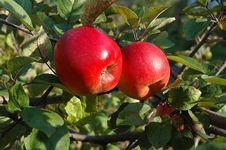 Free Two Ripe Apples On Tree Royalty Free Stock Photos - 5255718