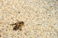 Free Bee In Sand Royalty Free Stock Image - 5255726