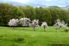 Free Flowering  Apple Trees Stock Photography - 5256072