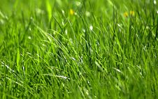 Free Green Grass 5 Royalty Free Stock Photo - 5256975