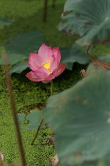 Free Pink Lotus On Water Stock Photo - 5257150