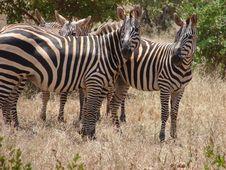 Free Zebras Stock Images - 5257274