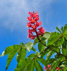 Free Fresh Flower Of Chestnut Royalty Free Stock Photography - 5257647