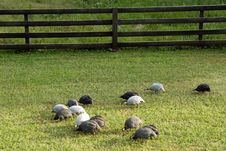 Free Guineas Grazing Royalty Free Stock Images - 5257839