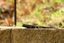 Free Lizard Royalty Free Stock Photography - 5257917