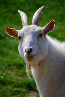 Free Goat Royalty Free Stock Images - 5257919