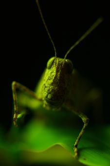 Free Grasshopper Royalty Free Stock Images - 5258139