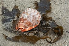 Free Seashell On Beach Royalty Free Stock Image - 5258386