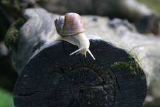 Free Snail Royalty Free Stock Photos - 5258658