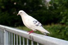 Free Pigeon On The Bridge Stock Photography - 5258942
