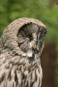 Free Grey Owl Stock Images - 5259424