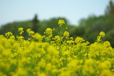 Free Rape Seed Field Royalty Free Stock Photography - 5259597