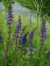 Free Dark Blue Flowers Stock Images - 5260144