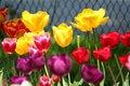 Free Tulip Mix Colors Stock Photo - 5261110