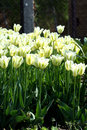 Free Tulip Yellow And Green Colors Royalty Free Stock Images - 5261199